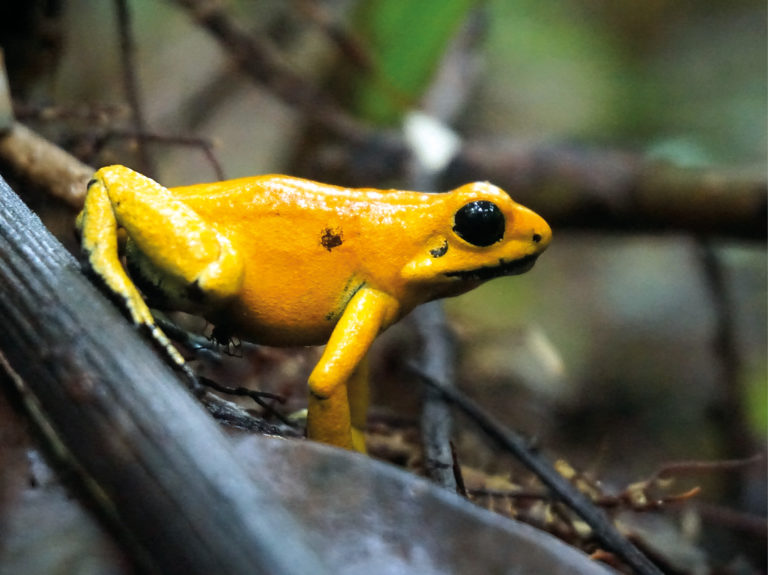 No. 10: Golden Poison Dart Frog (Phyllobates terribilis) | Björn Encke(15x20 in an A4 picture mount)