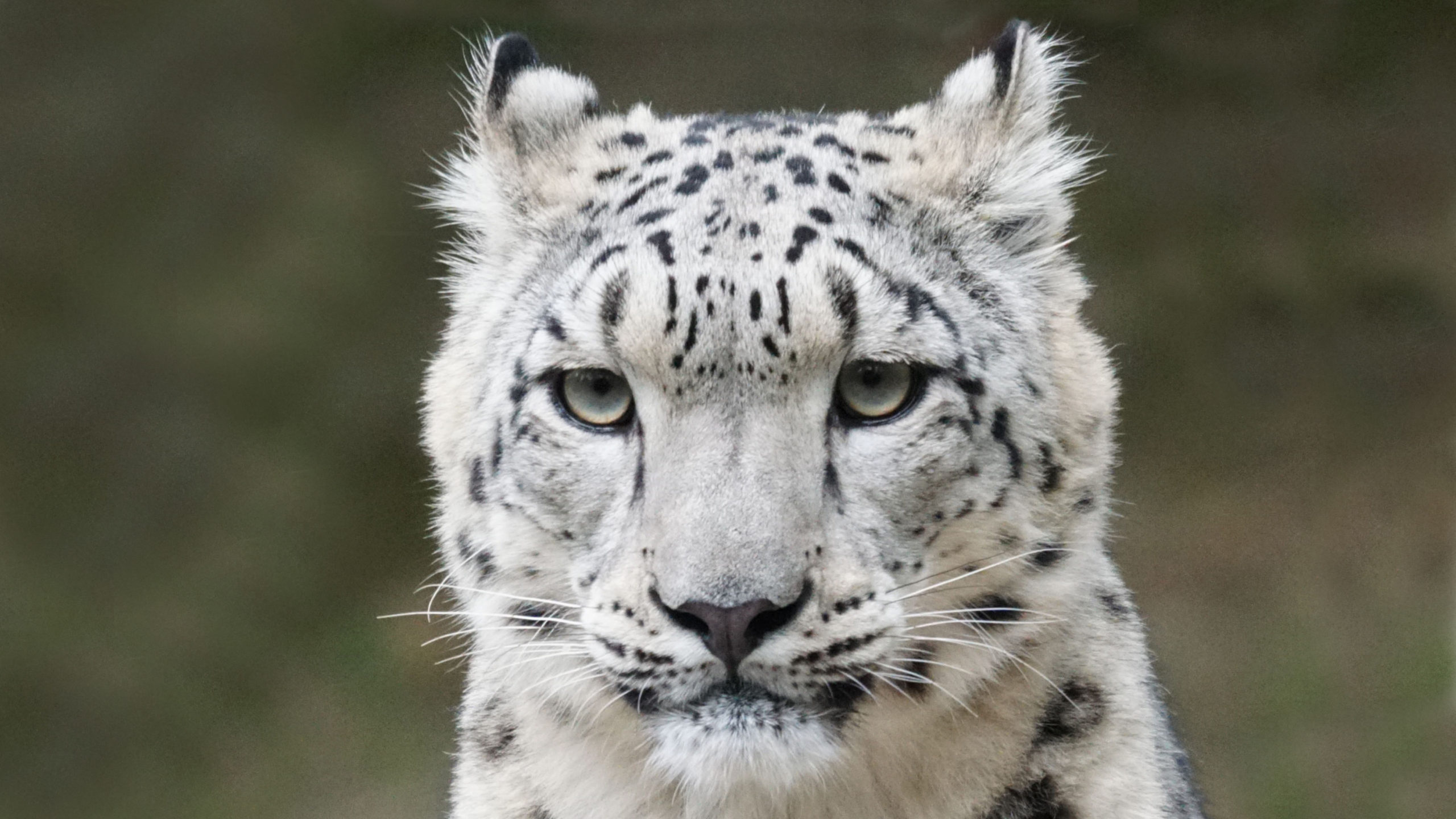 Der fast mystische Geist der Berge: der Schneeleopard. Der Berliner Geschichtenerzähler Ahne berichtet davon, wie sich bei seiner Rettung Zoo-Mitarbeiter so nahe kamen wie schnurrende Katzen ...