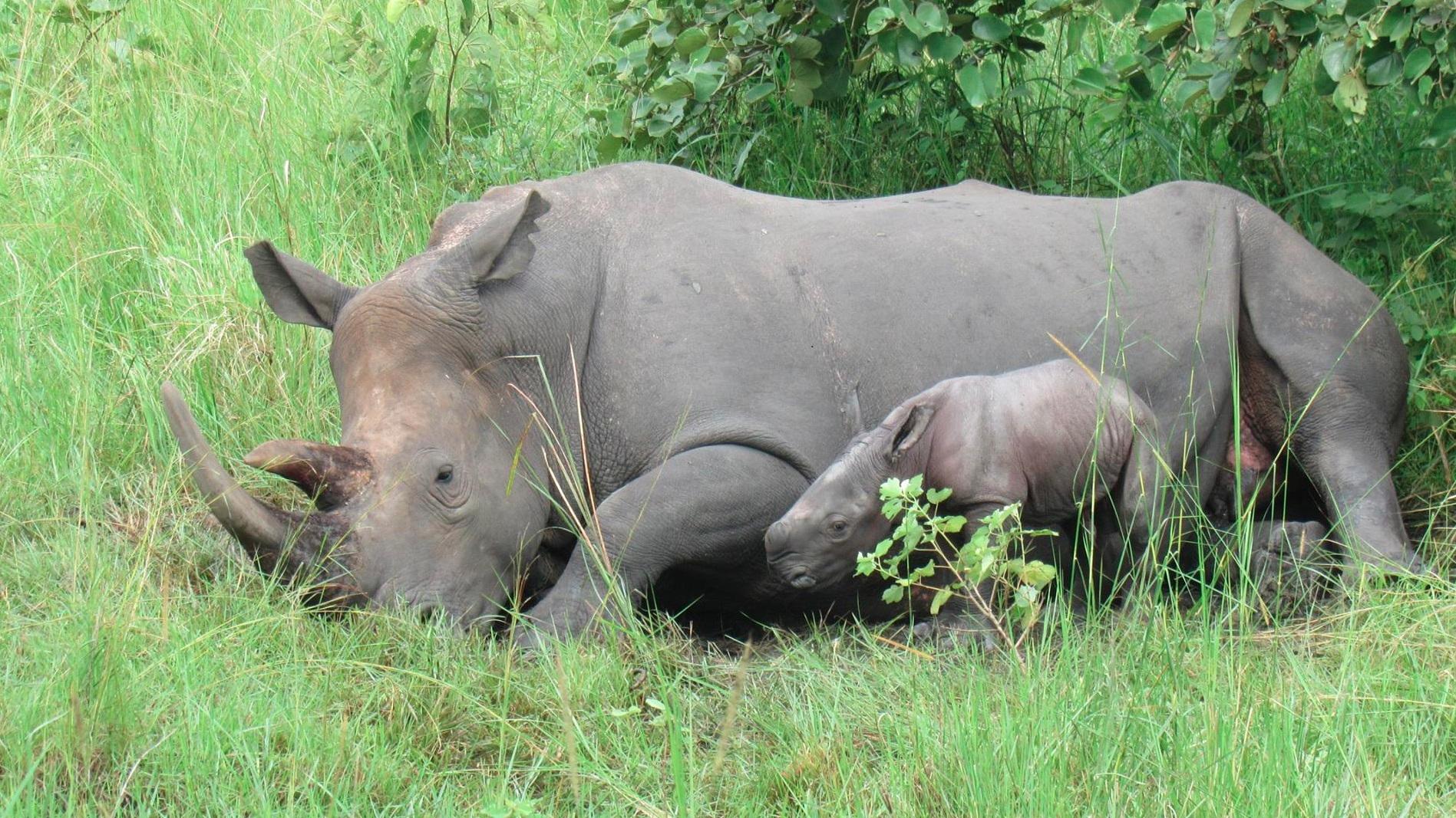 Ein Schwerpunktprojekt des Zoos Augsburg liegt seit vielen Jahren in der Unterstützung von Schutzmaßnahmen für das Breitmaulnashorn in Uganda. | Barbara Jantschke, Zoo Augsburg