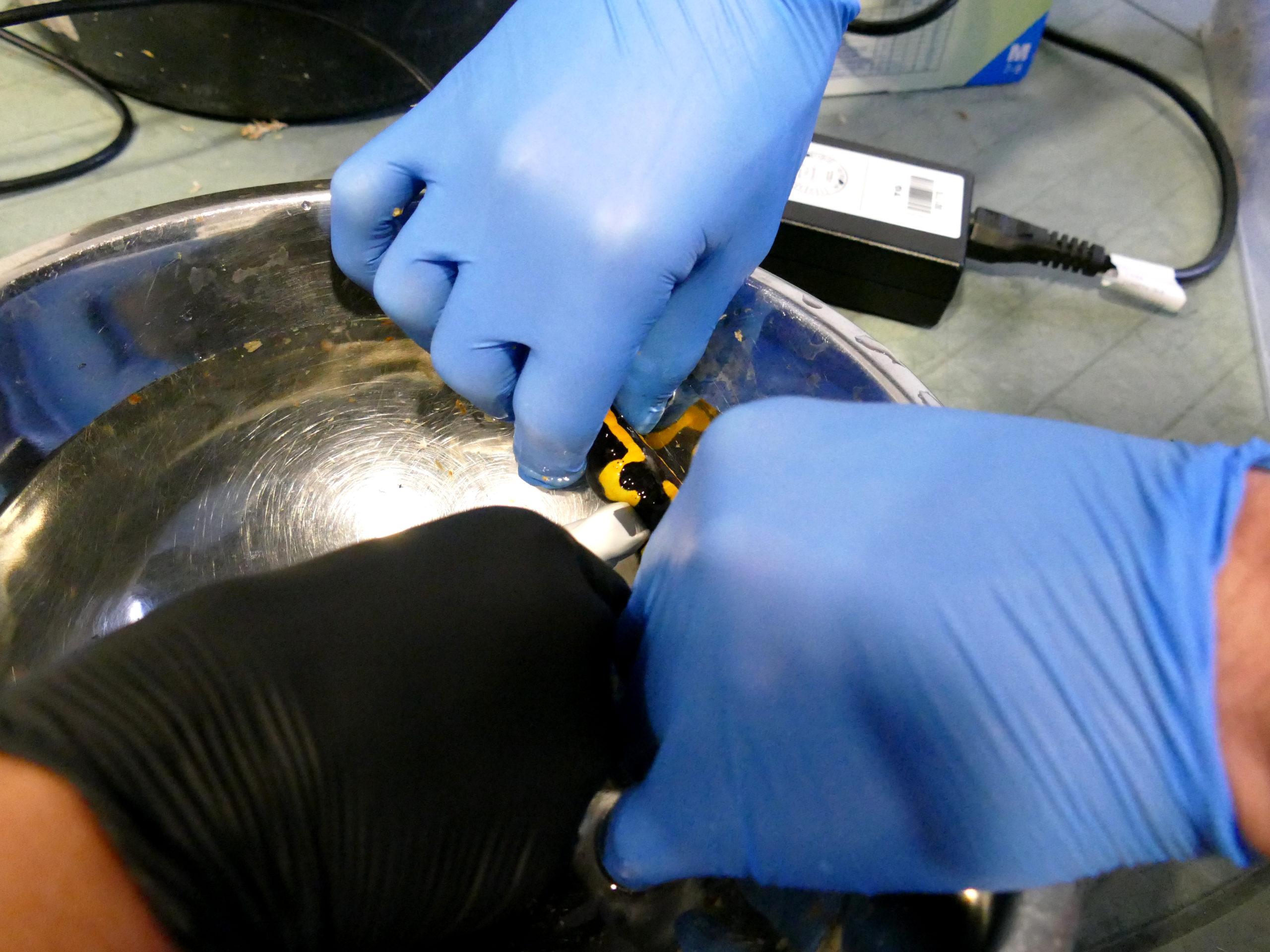Ein Ultraschall bei Feuersalamandern erfordert viel Fingerspitzengefühl | Tiergarten Nürnberg