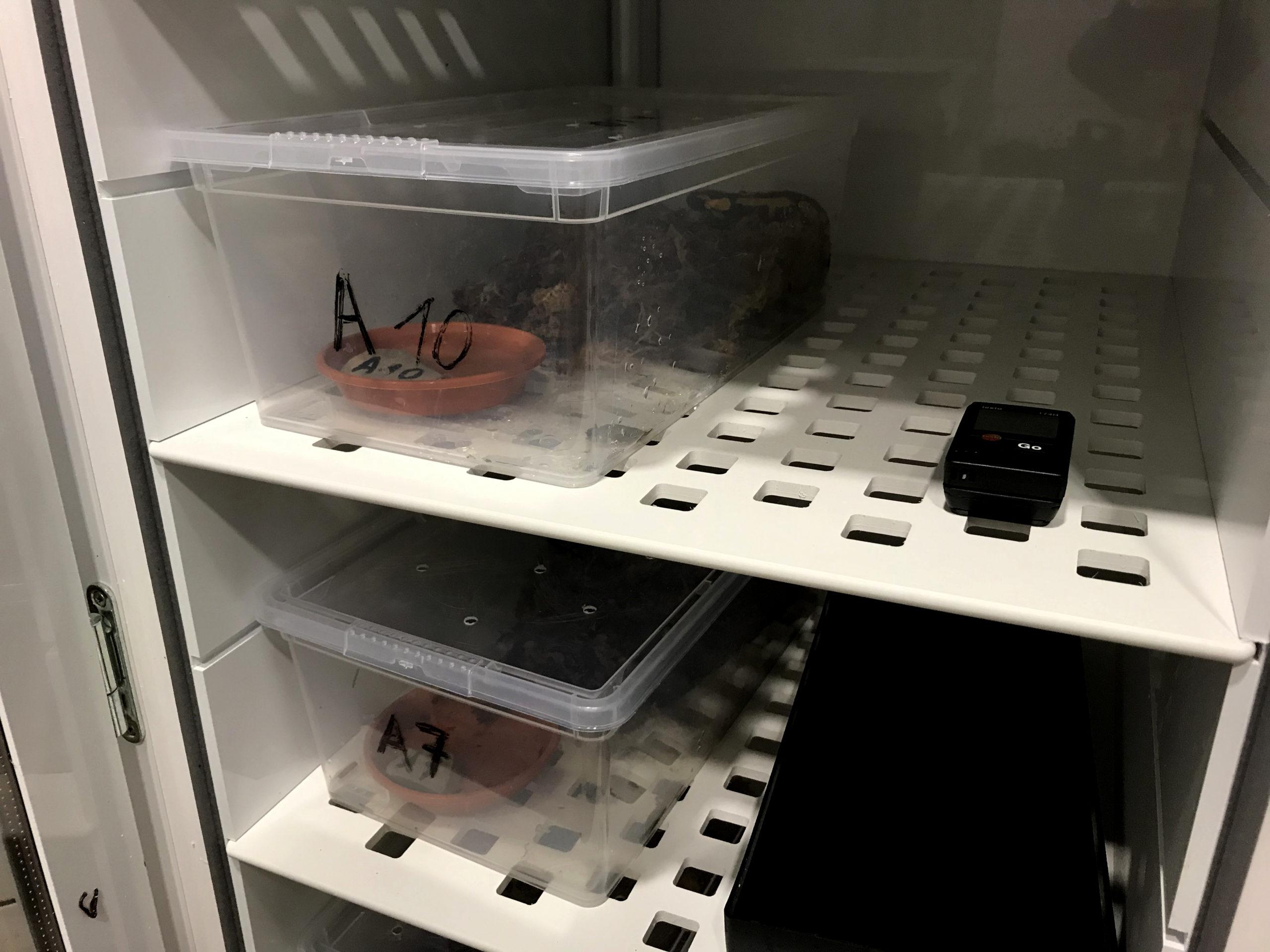 Blick in den Wärmeschrank in dem die Tiere die ersten zwei Wochen bei 25 °C gegen Bsal behandelt wurden. Die bei Feuersalamandern sonst übliche Überwinterung musste dieses Jahr für die schwarz-gelben Patienten ausfallen, was jedoch keine negativen Effekte nach sich zog. | J. Beckmann