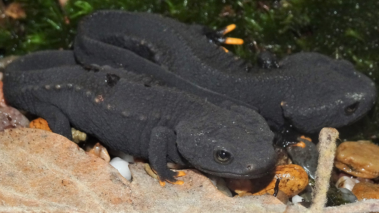 In Vietnam, the newts are meant to provide further offspring at the Melinh Biodiversity Station | Thomas Ziegler