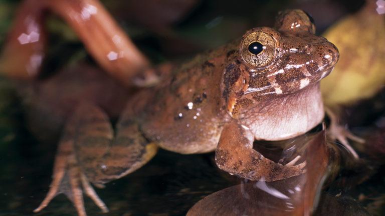 Für Menschen kaum auseinanderzuhalten sind die über 20 Arten der Gattung Minervarya. Und doch hat jede ihren eigenen Ruf, und die Weibchen von Minervarya mudduraja wissen genau, dass sie von diesem Männchen erwartet werden. | Ole Dost