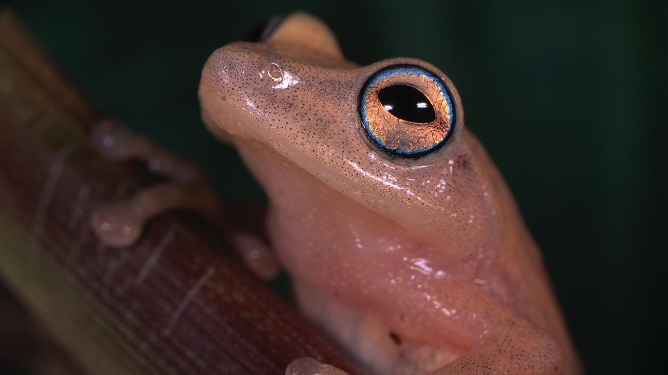Es lohnt sich, dem zur Paarungszeit meist gelblich orange gefärbten Raorchestes luteolus tief in die Augen zu schauen – denn sie werden von einem feinen blauen Ring geziert. | Ole Dost