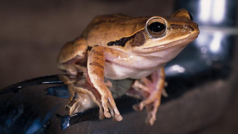 Wie in allen tropischen Regionen teilt man auch in den Western Ghats seine Unterkunft häufig mit einem sympathischen Badezimmerfrosch. Hier hat Polypedates maculatus sich dieser Rolle angenommen. | Ole Dost