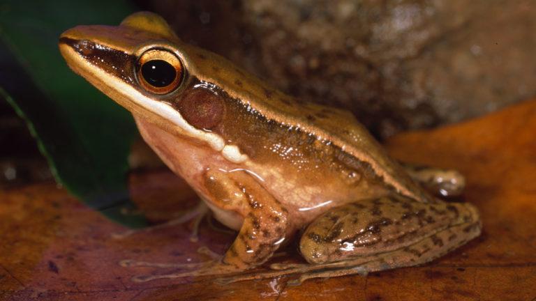 Die Gattung Indosylvirana kommt fast ausschließlich in den Western Ghats vor. Indosylvirana sreeni lebt am Rand von Gewässern und ist immer bereit, mit einem beherzten Sprung ins rettende Nass einzutauchen. | Ole Dost