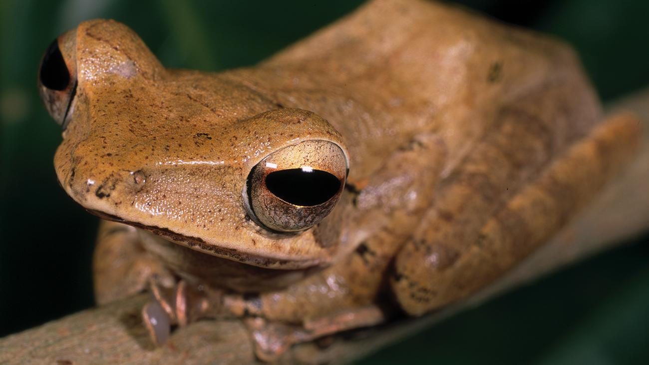 Der Ruderfrosch Polypedates pseudocruciger gehört zwar zu einer in Südasien weit verbreiteten und artenreichen Gattung, aber dieser kommt ausschließlich in den Western Ghats vor. | Ole Dost