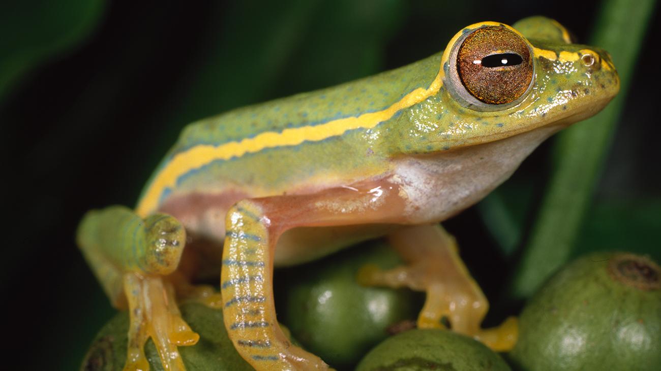 Der farbenprächtigste Frosch der Westghats ist wohl Rhacophorus lateralis. Wenn man ihm dumm kommt, kann er sich allerdings ganz fix in ein schmutziges Braun umfärben. | Ole Dost
