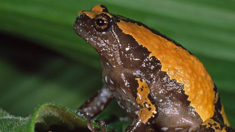 Der etwas kugelige Uperodon triangularis legt seine Eier in wassergefüllte Baumhöhlen der Bergwälder. | Ole Dost