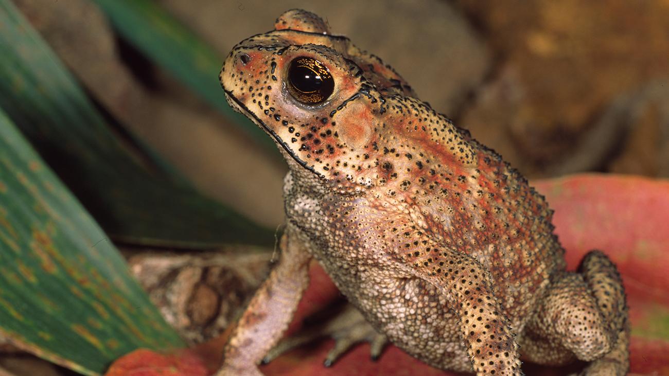 Die Western Ghats in Indien sind ein Hotspot der Amphibien-Diversität. Hier findet der Hobby-Naturfotograf Ole Dost bei seinen Exkursionen reichlich Fotomotive, wie die in Südasien weit verbreitete Schwarznarbenkröte (Duttaphryne melanostictus). | Ole Dost