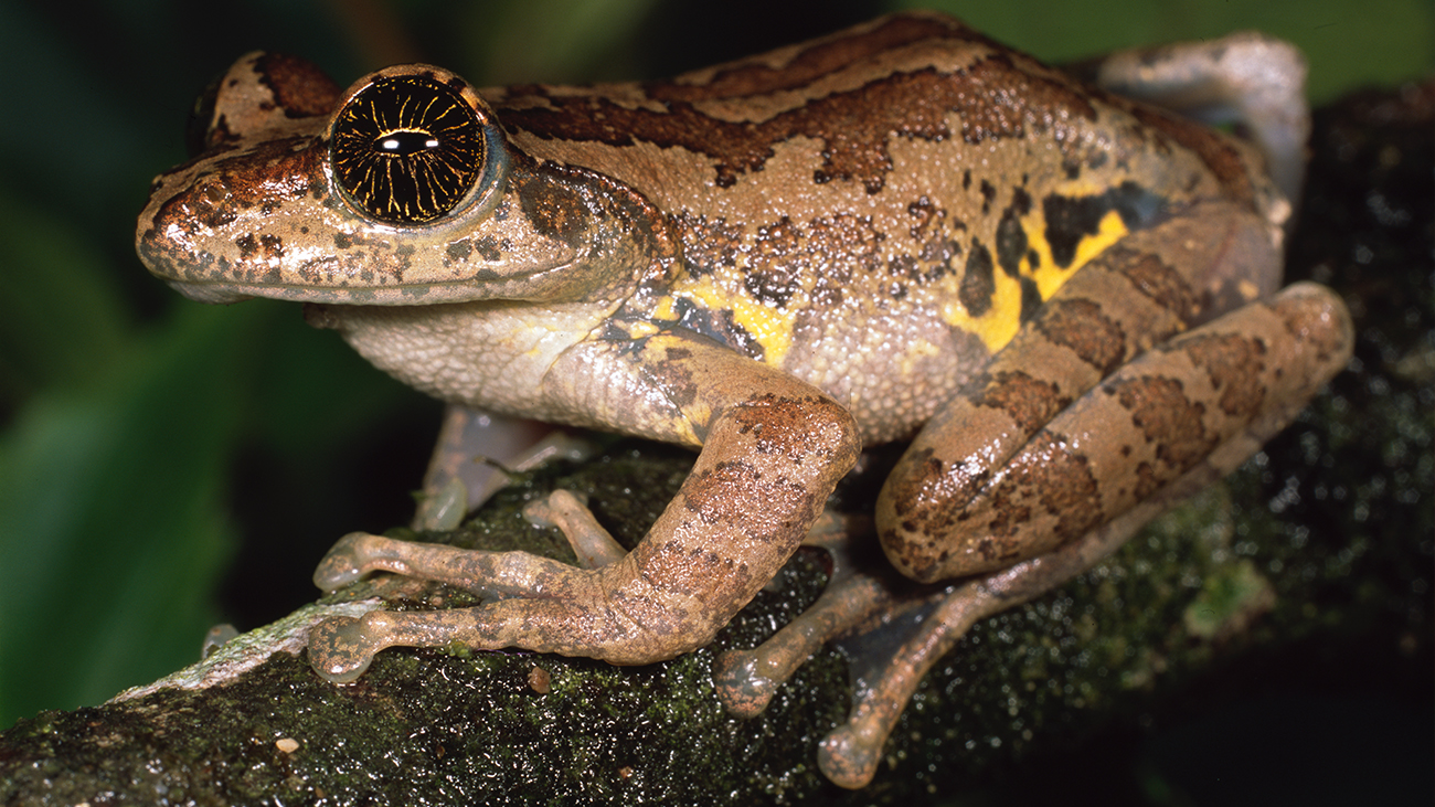Ghaticxalus asterops ist der farblich auffälligste Vertreter seiner kleinen, nur in den Westghats vorkommenden Froschgattung. | Ole Dost