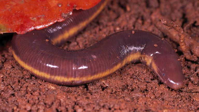 Zu den am wenigsten bekannten Amphibien zählen die unterirdisch lebenden Schleichenlurche. Nur bei starken Regenfällen traut sich Ichtyophis kodaguensis auch mal an die Erdoberfläche. | Ole Dost