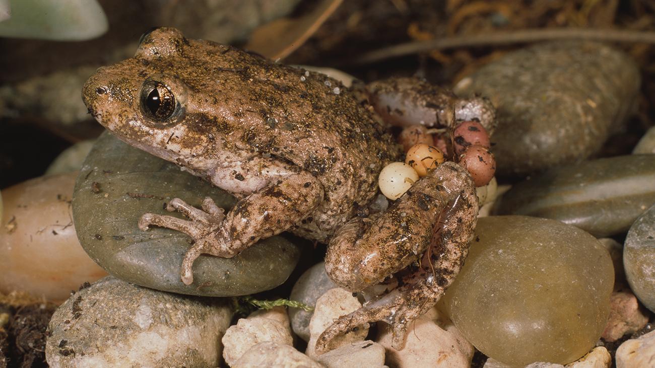 Wieder daheim im Schwarzwald las Ole über die faszinierende seltene Krötenart, bei der das Männchen die Eier auf dem Rücken mit sich herumträgt. Er beschloss, an der Erhaltungszucht dieser Tiere im Rahmen von Citizen Conservation teilzunehmen. | Ole Dost