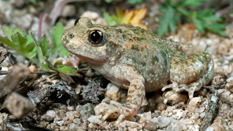 The Almogavar midwife toad (Alytes almogavarii), which has only recently been recognised as a distinct species, lives in the eastern Pyrenees. | Benny Trapp