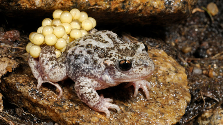 The Bosca midwife toad (Alytes obstetricans boscai) is only found in the western part of the Iberian Peninsula. | Benny Trapp