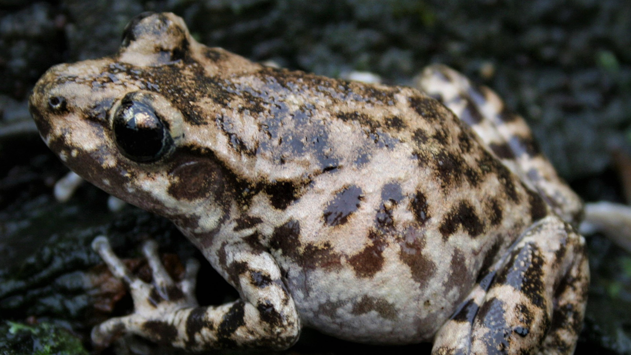 Before they go ashore, however, they shrink back to size. The adult toads are no longer than 4 cm. | Sergé Bogaerts