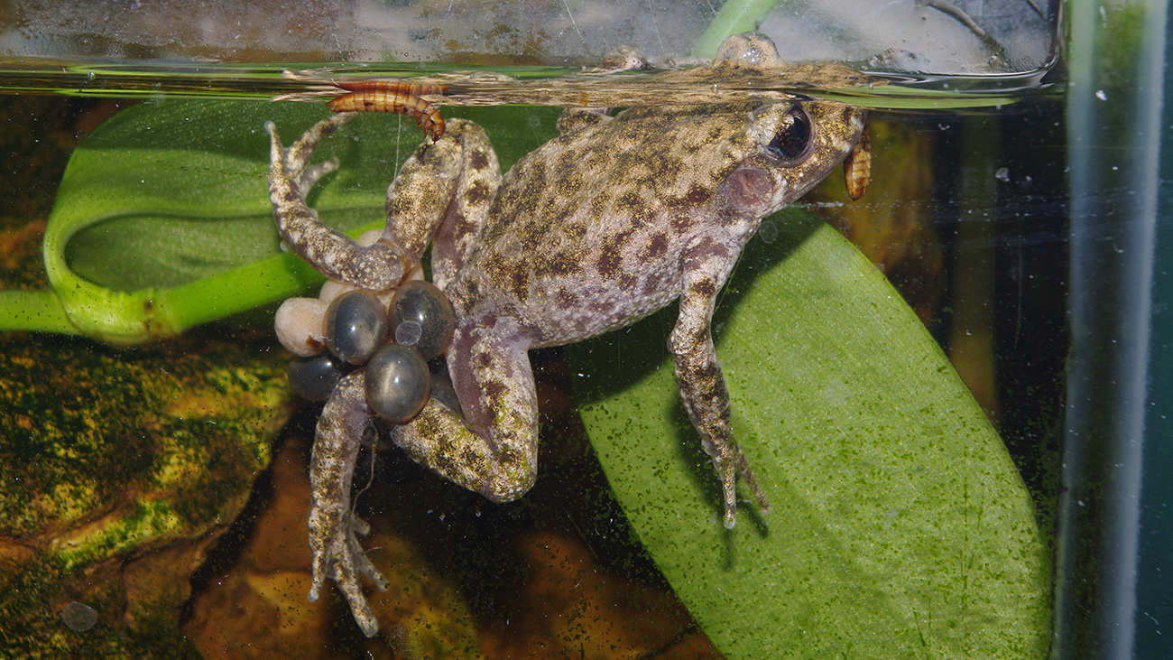 The male now goes into the water, where the tadpoles hatch. | Sergé Bogaerts