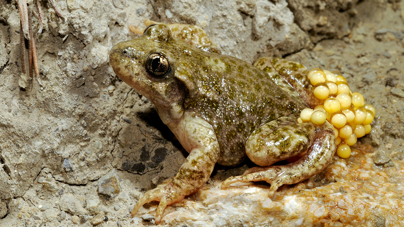 The Southeast Iberian midwife toad (Alytes dickhilleni) is also critically endangered. It is found only in the mountains of Andalusia. | Benny Trapp