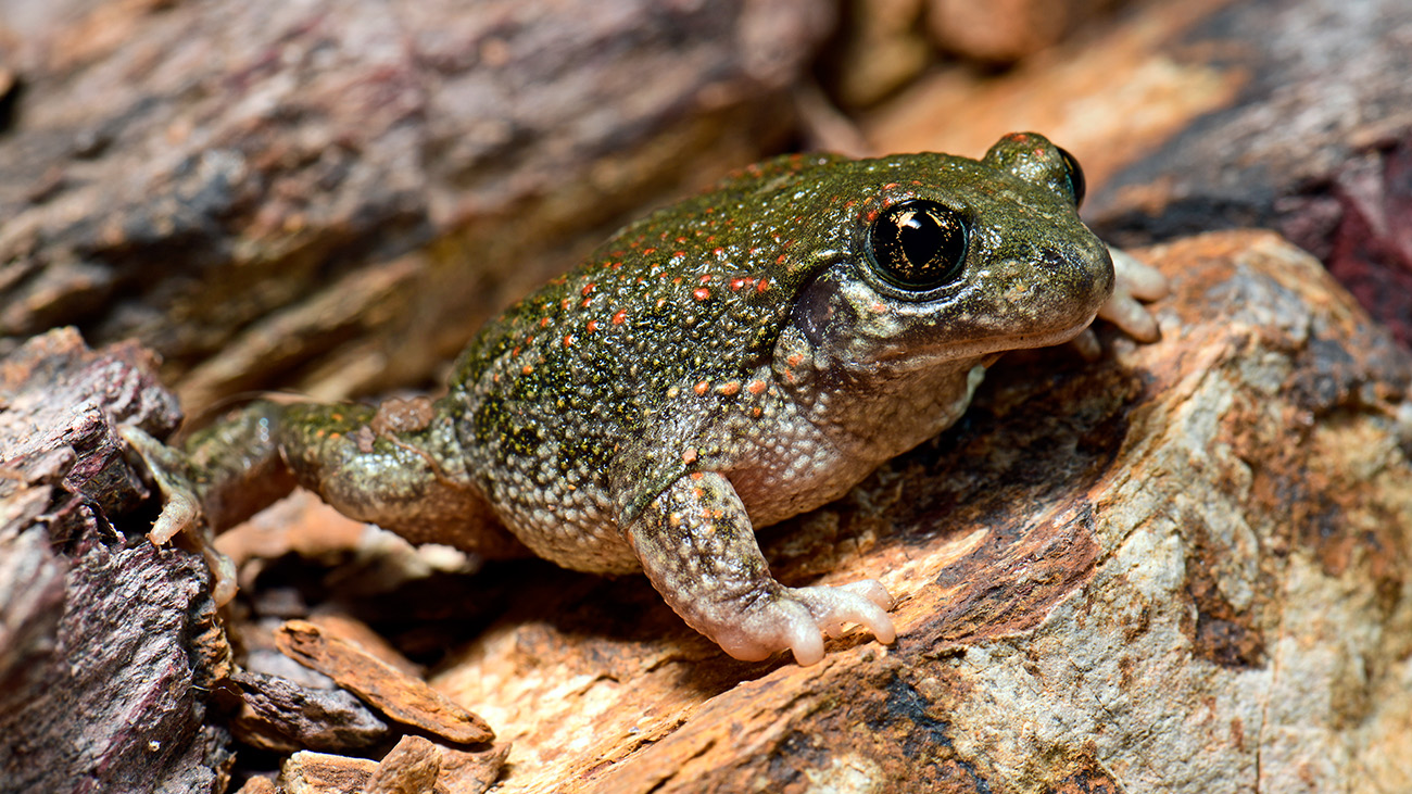 The Iberian midwife toad (Alytes cisternasii) is common in the central areas of the Iberian Peninsula.