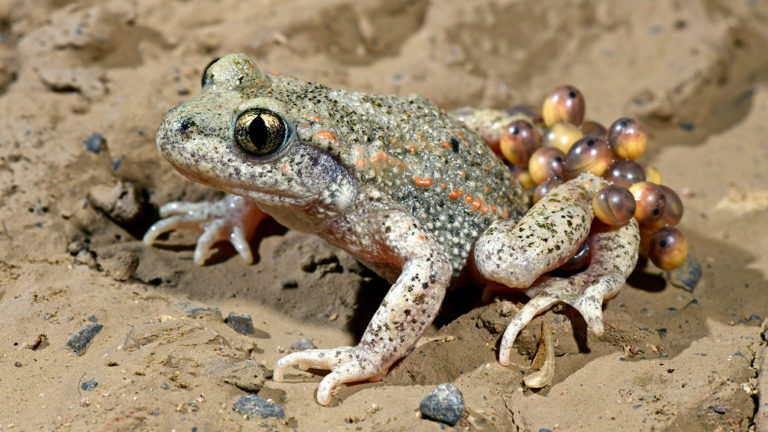 Egg-bearing male of the common midwife toad (Alytes obstetricans) from Wuppertal, Germany | Benny Trapp